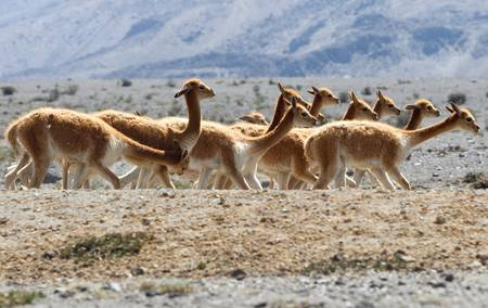 Heard of vicu�a or vicunga , a camelid specie specific to the Andes highlands in South America. photo