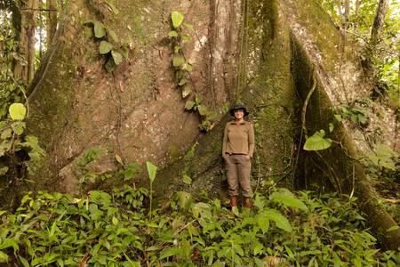 Biolog standing next to a kapok tree, Ceiba pentandra, in Ecuadorian  jungle. Over 3 meters in diameter. photo