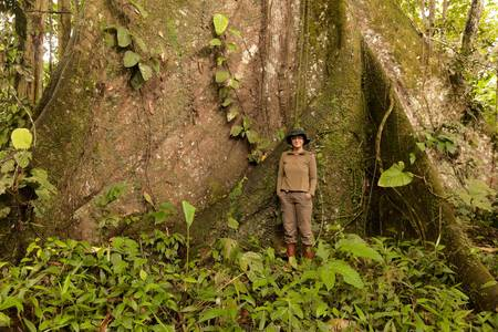 biologist: Biolog standing next to a kapok tree, Ceiba pentandra, in Ecuadorian  jungle. Over 3 meters in diameter.