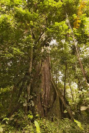 Huge kapok tree in Amazon basin, Ecuador photo
