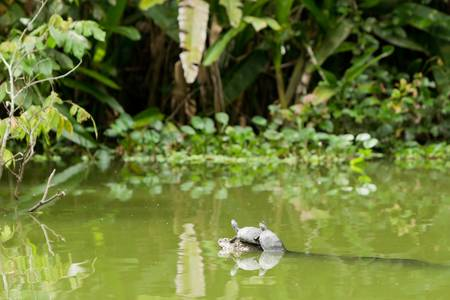 ecuadorian: wild turtles in ecuadorian amazonia, at full size you could see a insect sitting on them.