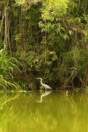 amazonia: grey stork shot in the wild in ecuadorian amazonia