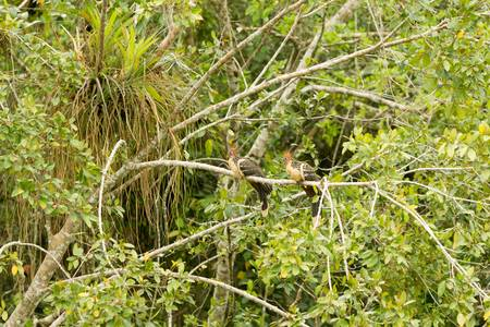 diurnal: hoatzin pair shot in the wild , limoncocha lagoon , ecuador