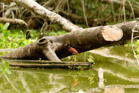 ornithological: wattled jacana shot in the wild in amazonian basin Stock Photo