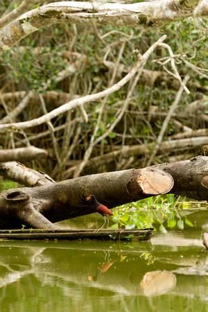wattled jacana shot in the wild in amazonian basin Stock Photo - 16756831
