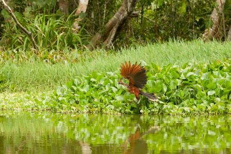 male hoatzin takeoff in ecuadorian amazonia photo