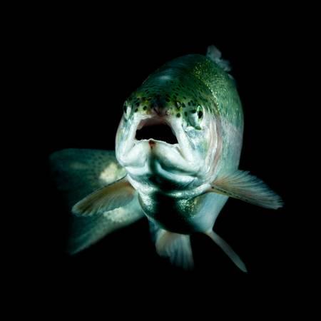 freshwater fish: live trout underwater, studio shot