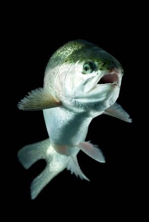 white salmon river: live trout underwater, studio shot