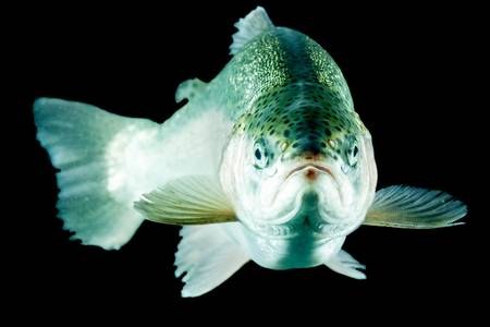 adult trout fish isolated on black. Stock Photo - 20707770