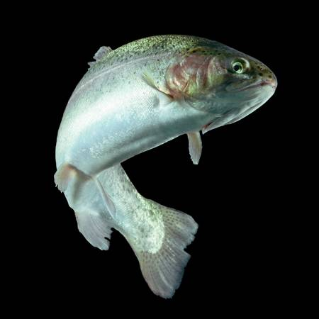 white salmon river: adult trout fish isolated on black. Stock Photo