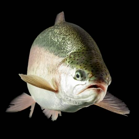 salmonidae: adult trout fish isolated on black, aquarium shot