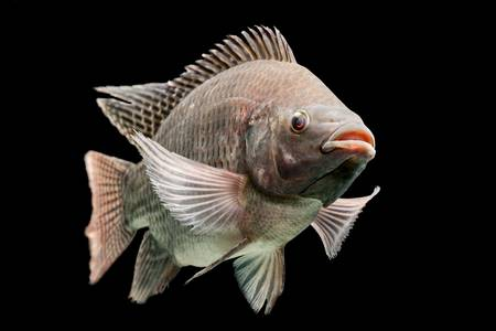 mozambique tilapia, oreochromis mossambicus, isolated on black, studio aquarium shot. Stock Photo - 20940434