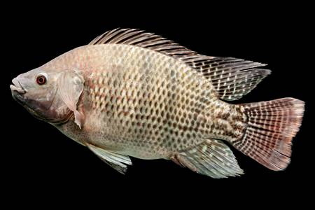 mozambique tilapia, oreochromis mossambicus, isolated on black, studio aquarium shot. Stock Photo