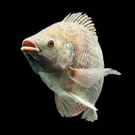 Mozambique tilapia, Oreochromis mossambicus, isolated on black, studio aquarium shot. Stock Photo - 20940439