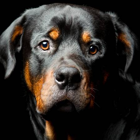 High contrast studio portrait of an adult male rottweiler purebred dog,