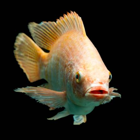 nile or red  tilapia, oreochromis niloticus, isolated on black, studio aquarium shot. Stock Photo