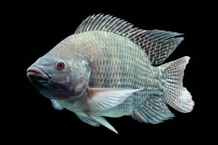 nile: mozambique tilapia, oreochromis mossambicus, isolated on black, studio aquarium shot. Stock Photo