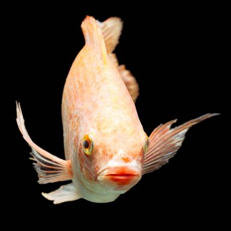 Nile or red  tilapia, Oreochromis niloticus, isolated on black, studio aquarium shot. Stock Photo - 20943725