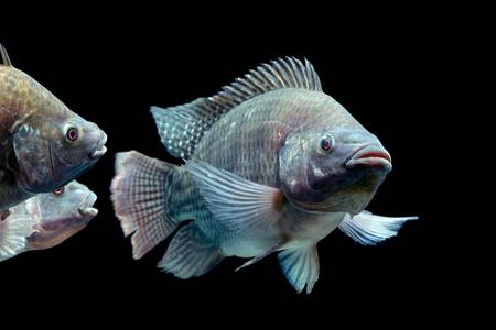 chidae: mozambique tilapia, oreochromis mossambicus, isolated on black, studio aquarium shot. Stock Photo