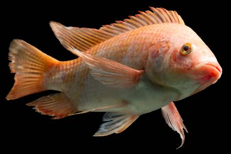 aquaculture: nile or red  tilapia, oreochromis niloticus, isolated on black, studio aquarium shot. Stock Photo