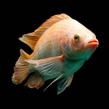 nile or red  tilapia, oreochromis niloticus, isolated on black, studio aquarium shot. Stock Photo - 20943734