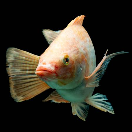 Nile or red  tilapia, Oreochromis niloticus, isolated on black, studio aquarium shot. photo