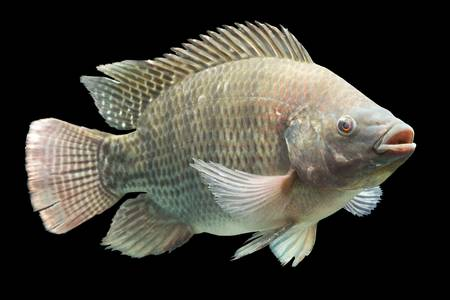 oreochromis: mozambique tilapia, oreochromis mossambicus, isolated on black, studio aquarium shot. Stock Photo