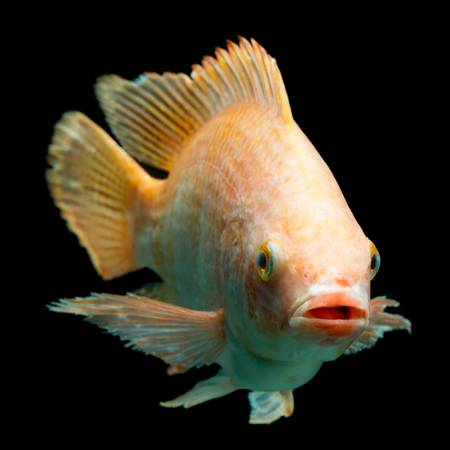 oreochromis niloticus: Nile or red  tilapia, Oreochromis niloticus, isolated on black, studio aquarium shot.