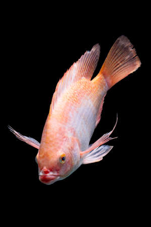 Nile or red  tilapia, Oreochromis niloticus, isolated on black, studio aquarium shot.