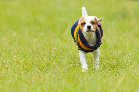 Parson Jack Russell terrier 8 weeks puppy running outdoor photo