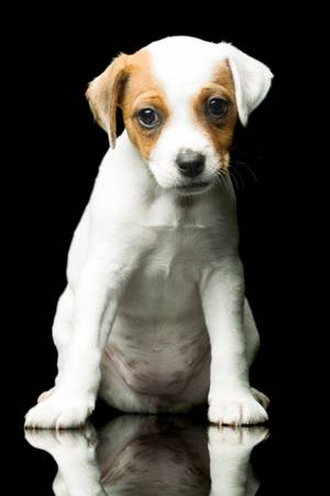 Parson Jack Russell terrier 8 weeks puppy , indoor studio shot photo