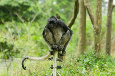 endangered spider monkey sitting on an electric fence Stock Photo
