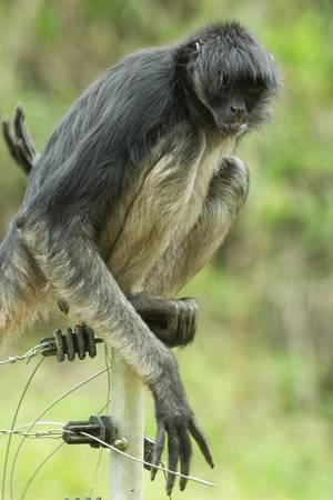 elektrischer Zaun: gef�hrdeten Spinne Affe sitzt auf einem elektrischen Zaun