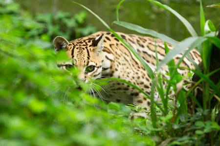 ocelot leopardus pardalis stalking in the dense amazonian forest