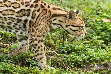 stalking: ocelot leopardus pardalis stalking in the dense amazonian forest
