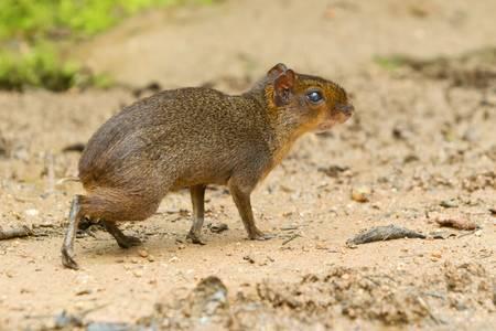 agouti: central american agouti or guatusa in south america