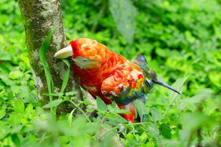 extends: the scarlet macaw  is a large, colorful macaw. it is native to humid evergreen forests in the american tropics. range extends from extreme south-eastern mexico to amazonian peru, bolivia and brazil