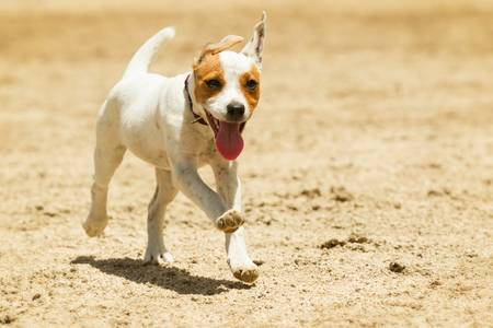 jack russell terrier: some dogs likes to run free