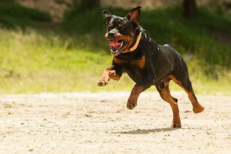 kampfhund: Einige Hunde gerne frei laufen, ist dies ein super ausgebildeten Hund, der das Recht auf wegleine gewonnen.