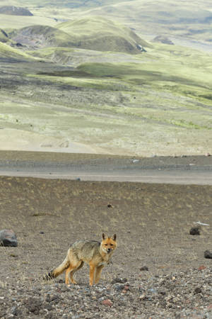 Wild fox in Cotopaxi National Park , Ecuador photo