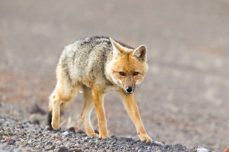 stock vista: wild fox in cotopaxi national park , ecuador