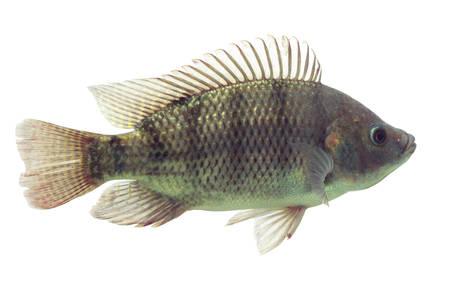 mozambique tilapia, oreochromis mossambicus, isolated on white, studio aquarium shot. photo