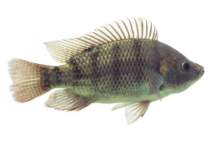 chidae: mozambique tilapia, oreochromis mossambicus, isolated on white, studio aquarium shot.
