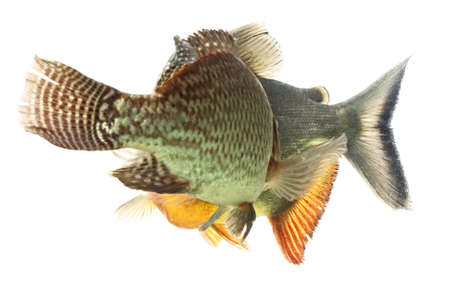 pacu: tilapia and cachama or tambaqui fish chase in aquarium, isolated on white Stock Photo