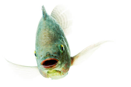 head shot of an mozambique tilapia, oreochromis mossambicus, isolated on black, studio aquarium shot.