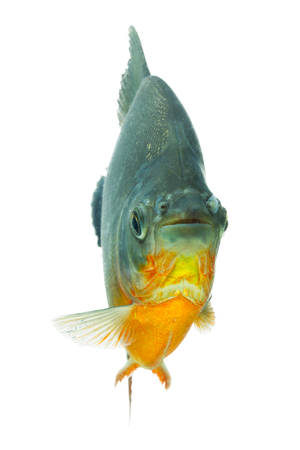 pacu: tambaqui fish isolate on white, shallow depth of field focus on the eyes. Stock Photo