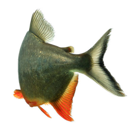 pacu: black finned tambaqui fish tale , studio aquarium shot