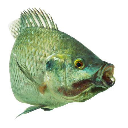 mozambique tilapia, oreochromis mossambicus, isolated on white, studio aquarium shot.