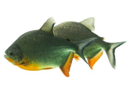 pacu: tambaqui fish pair isolated on white, shallow dept of field, studio aquarium shot.