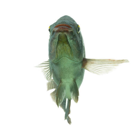 mozambique tilapia, funny pose, studio aquarium shot isolated on white photo